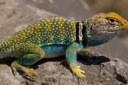Colorful lizard sunning self on a rock
